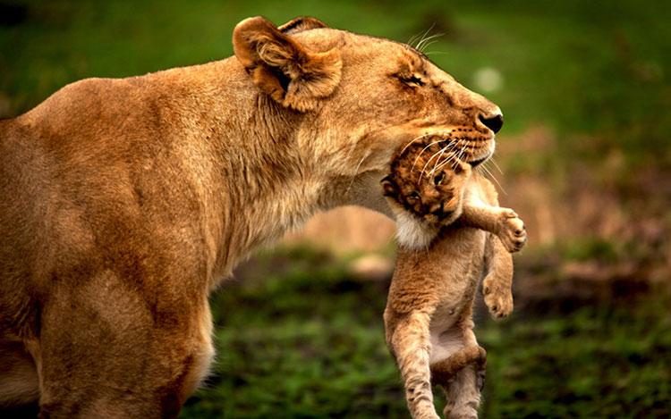 شیر مادر و بچه شیر