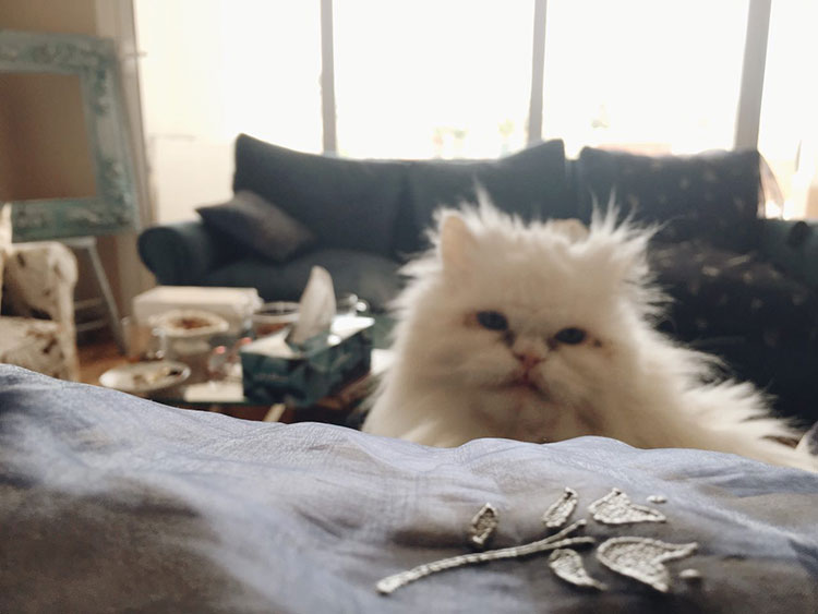 پِرشی گربۀ ایرانی
